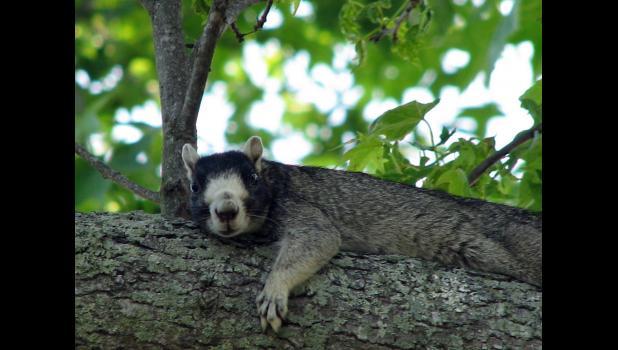 meet daniel island s nuttiest neighbors the fox squirrels the